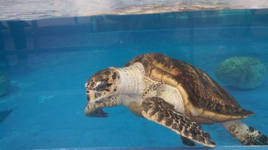 Texas State Aquarium: sea turtle