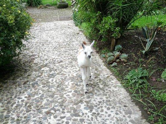 Hacienda Cusin: Baby LLama
