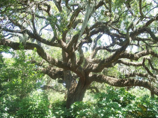 Brookgreen Gardens: One of the many majestic Live Oaks