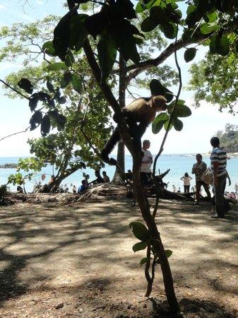 Manuel Antonio Expeditions: Capuchin monkey freeloading at the Manuel Antonio beach