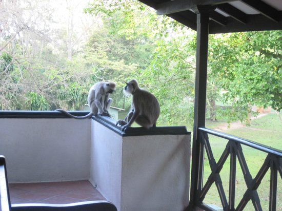 Cinnamon Lodge Habarana : Monkeys on our balcony