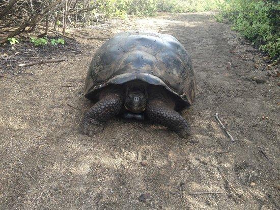 Galapagos Natural Life - Day Tours : Tartaruga gigante delle Galapagos