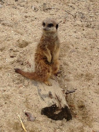 Tilgate Park : Our favourite Meerkat at the Nature Centre
