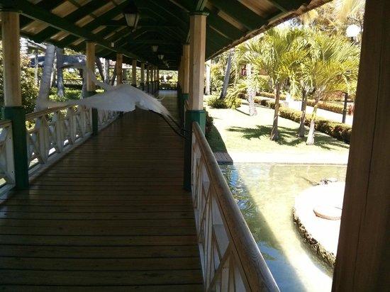 Iberostar Punta Cana : Seen flying through walkway near buffets