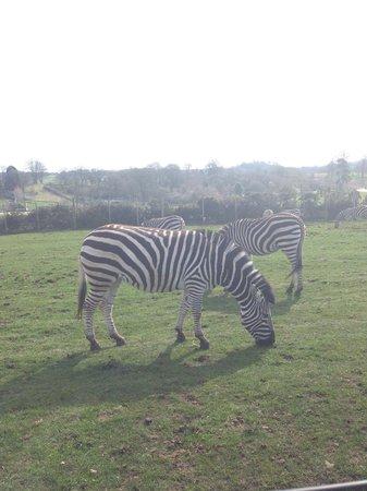 West Midland Safari and Leisure Park: The zebras!