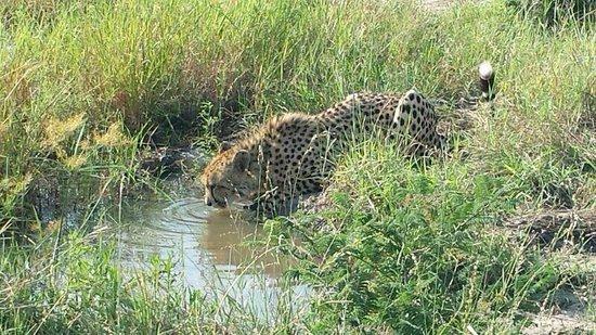 Hoyo-Hoyo Safari Lodge: Cheetah during game drive
