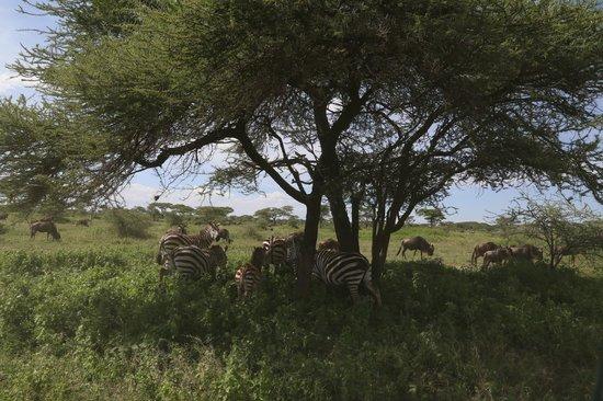 Ndutu Wildlands Camp: Pas loin de l'hotel