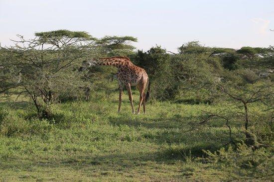 Ndutu Wildlands Camp: à deux pas de la chambre