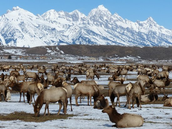 National Elk Refuge with Tetons