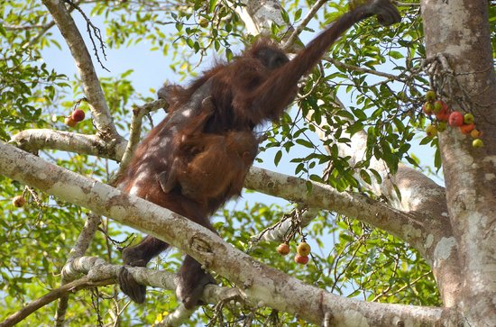 Sukau Rainforest Lodge: O-U with baby
