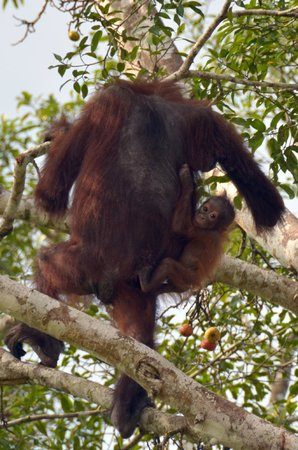 Sukau Rainforest Lodge: O-U with baby in tree by riverside