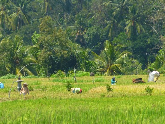Indraprastha Home Stay: Rice Field Out Back