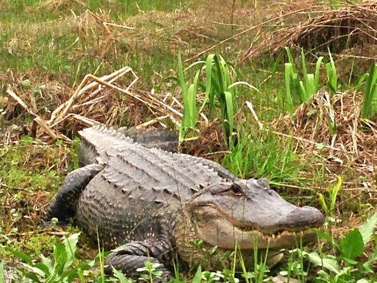 Pearl River Eco Tours : alligator