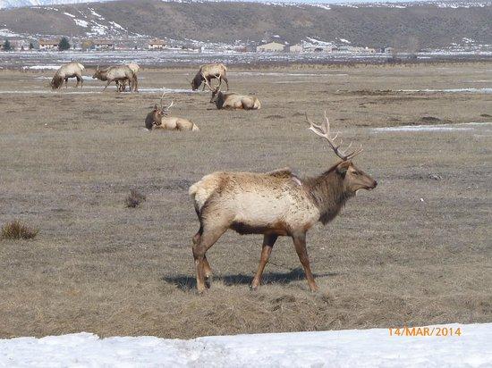 National Elk Refuge: Close up and personal