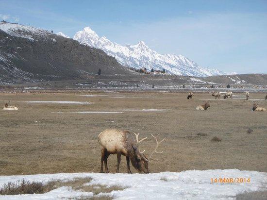National Elk Refuge: Tetons and Elk
