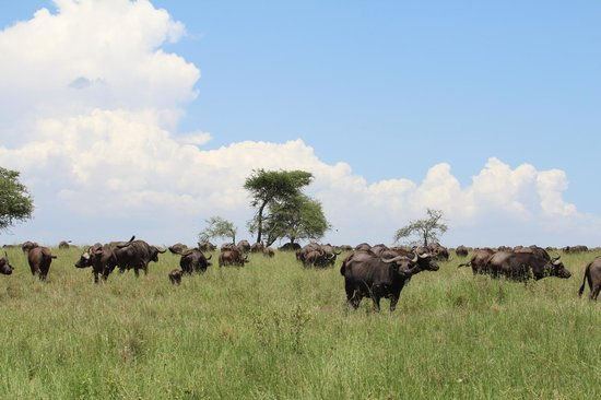 Warrior Trails Day Tour: Buffalo herd in the Serengeti