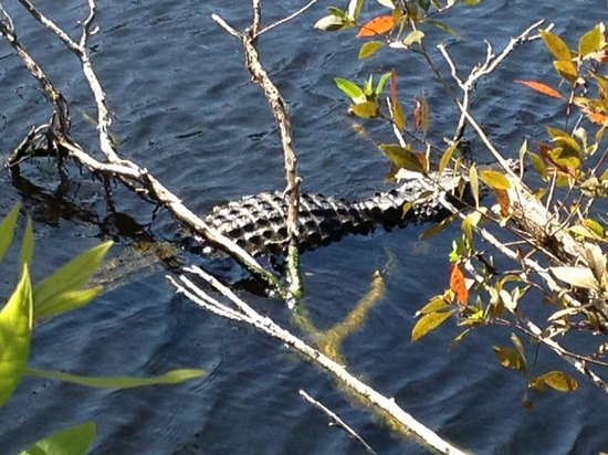 Tours in the Glades: Alligator