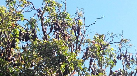 Mantra Trilogy: Bats in the trees across the road