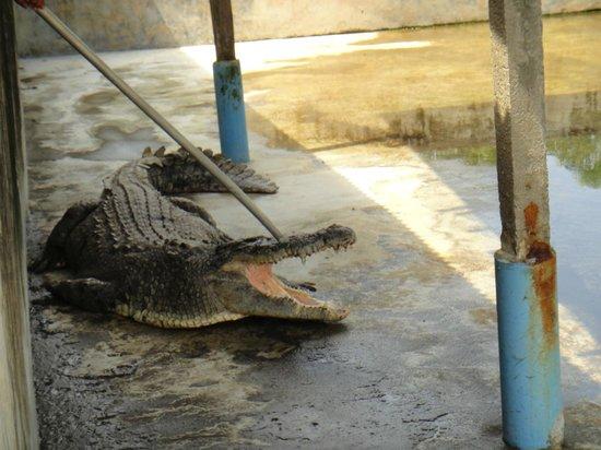 Teluk Sengat Crocodile Farm: When disturb the crocodile will open his mouth