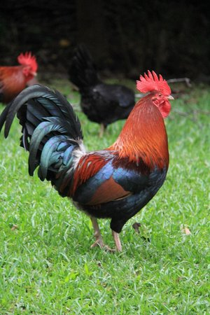 Iao Valley State Monument: chickens at the Iao Needle.