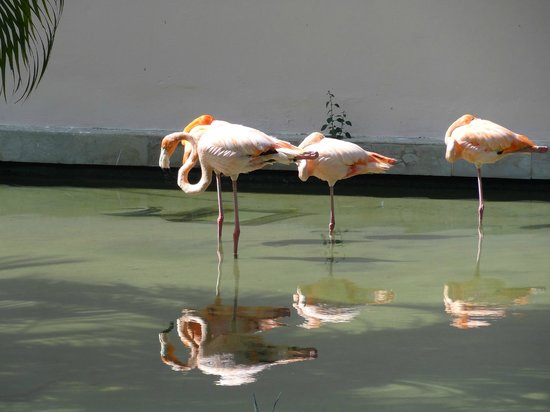 Catalonia Royal Bavaro : Flamingos