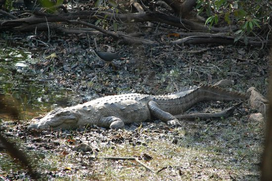 Tigers' Heaven Resort: Crocodile near Tadoba lake