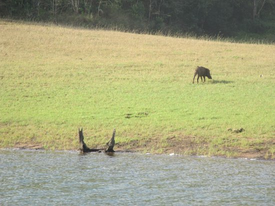 Periyar Tiger Reserve: Wild Boar at Tiger Reserve