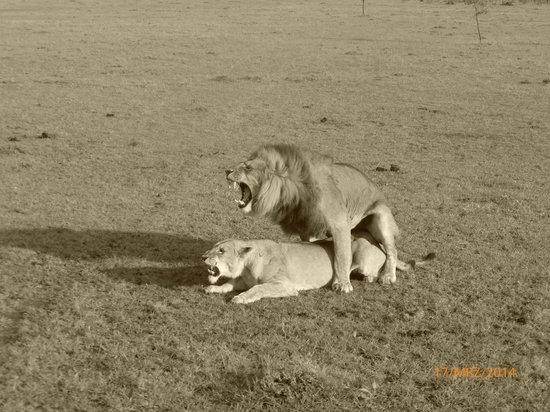 Naboisho Camp, Asilia Africa: ... und wir waren live dabei ;-)