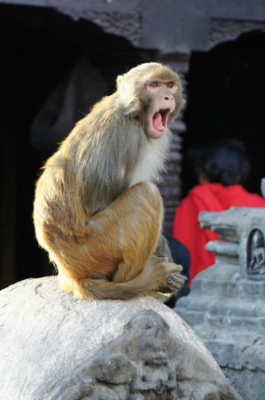 Swayambhunath-Tempelkomplex: Monkeys