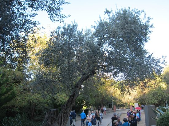 Meryemana (The Virgin Mary's House) : Olive tree