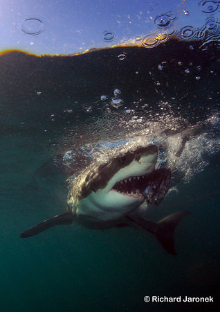White Shark Safaris: Get A New Perspective!