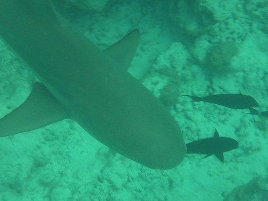 Kuramathi Island Resort : Black Tip Reef Shark