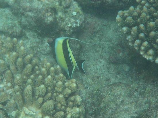 Kuramathi Island Resort : Angel Fish
