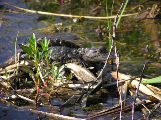 Wild Willy's Airboat Tours: Baby Gator