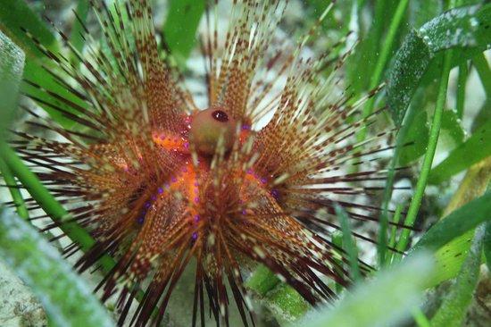 Ras Michamvi Beach Resort : sea-urchin