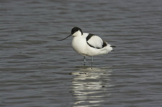 Avocet at Brownsea Island lagoon copyright Charles Tait