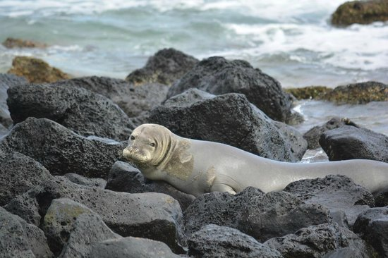 Sheraton Kauai Resort : Hawaiian Monk Seal that paid a visit to the beach