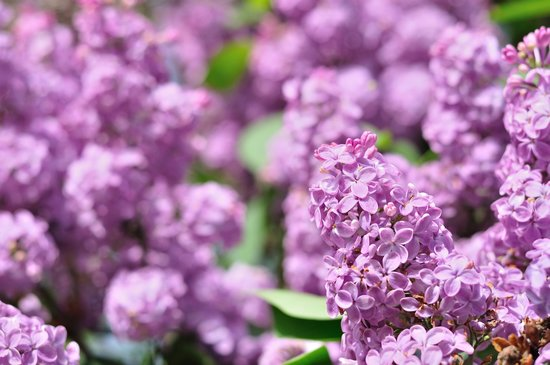 Kennebec Inn: Lilacs around the grounds