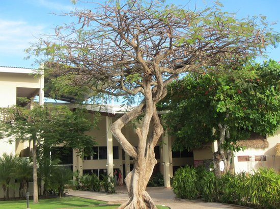 Doubletree Resort by Hilton, Central Pacific - Costa Rica: interesting tree