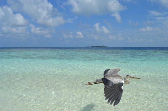 Fihalhohi Island: Panorama 3