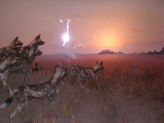 American Museum of Natural History : animais empalhados