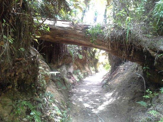 Redwoods, Whakarewarewa Forest: Redwoods Whakarewarewa Forest hike
