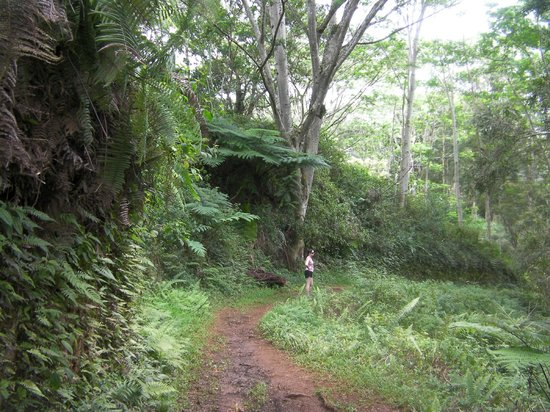 Kuilau Ridge Trail : Enjoy the prehistoric looking giant ferns on this hike