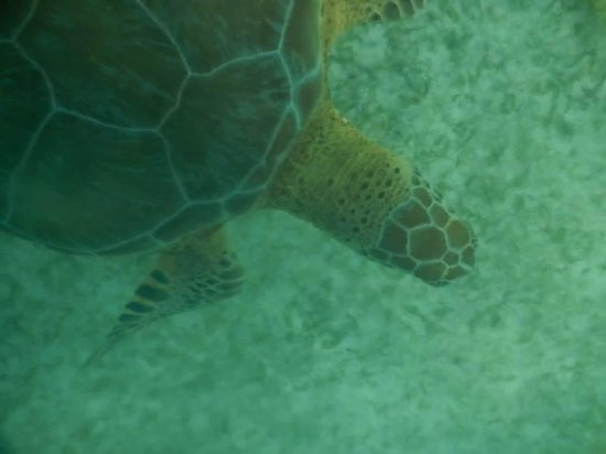 Akumal Beach : One of the many turtles we saw