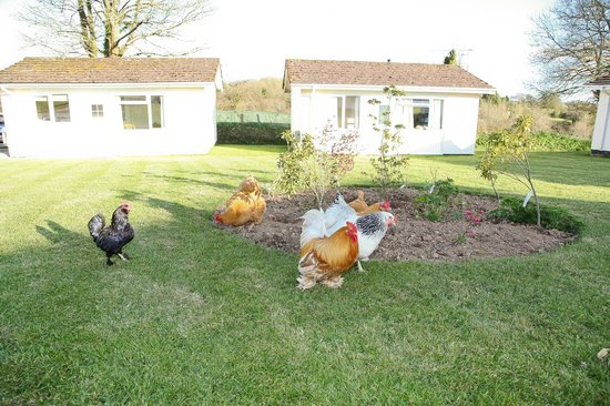 Meadow Lakes Holiday Park: Chickens at Meadow Lakes