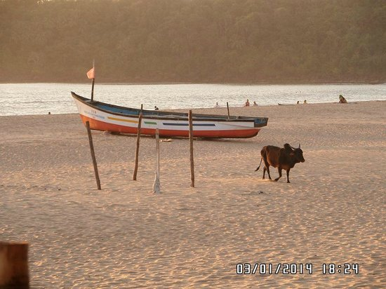Agonda White Sand: A beautiful deserted beach apart from the cow!