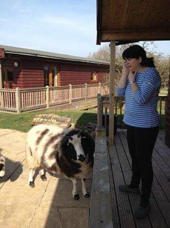 Wall Eden Farm: Sheep Roaming