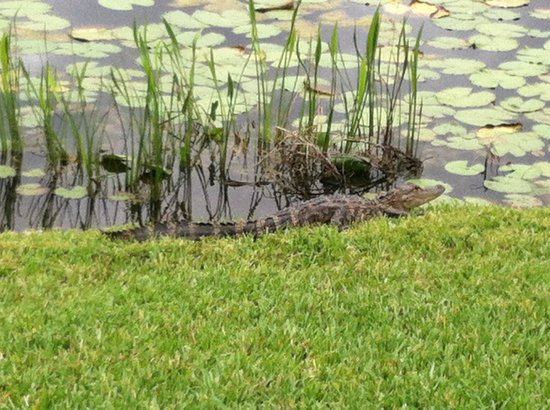 Holiday Inn Sarasota - Lakewood Ranch: One of the alligators in the marsh.