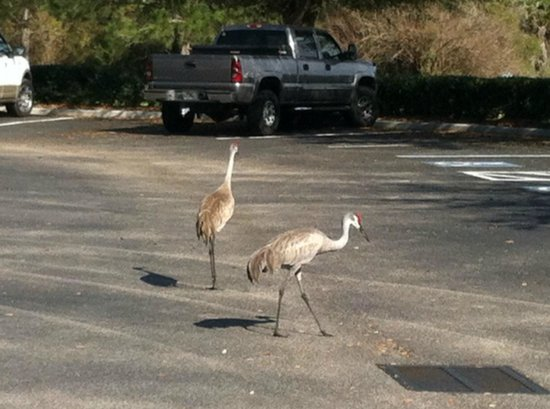 Holiday Inn Sarasota - Lakewood Ranch: Sand hill cranes walking through the parking lot.