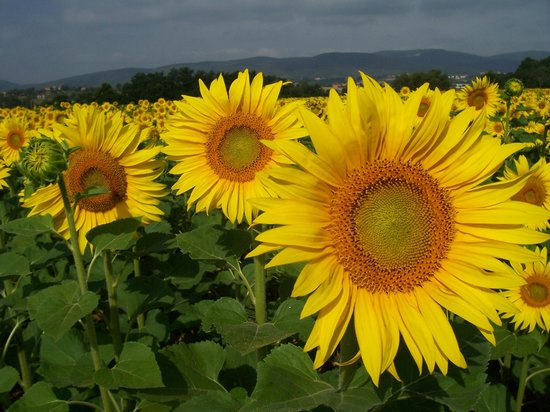POGGIO SALVI Agriturismo : These sunflowers were taken in their field out back